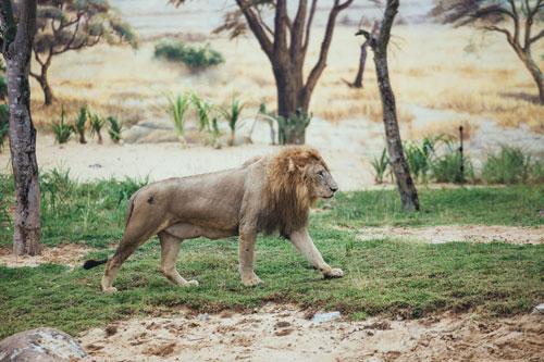 sư tử châu phi